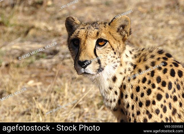 South Africa: A cheetah close to you and looking at you in the Kalahari desert