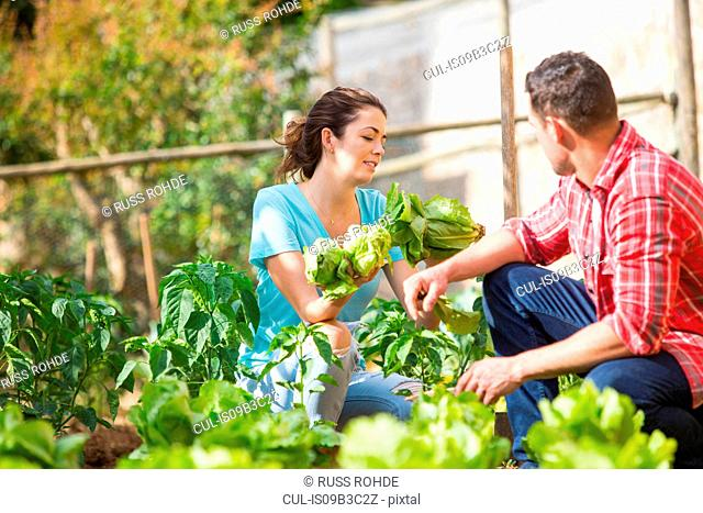 Farming couple picking lettuce on organic farm