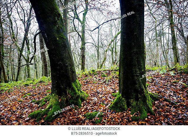 Close-up of two tree trunks and trees in the background of a forest in autumn. Grass Wood, Grassington, Skipton, Yorkshire Dales, North Yorkshire UK