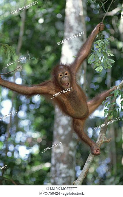 ORANGUTAN, (Pongo pygmaeus), SEPILOK  RESERVE, SABAH, BORNEO