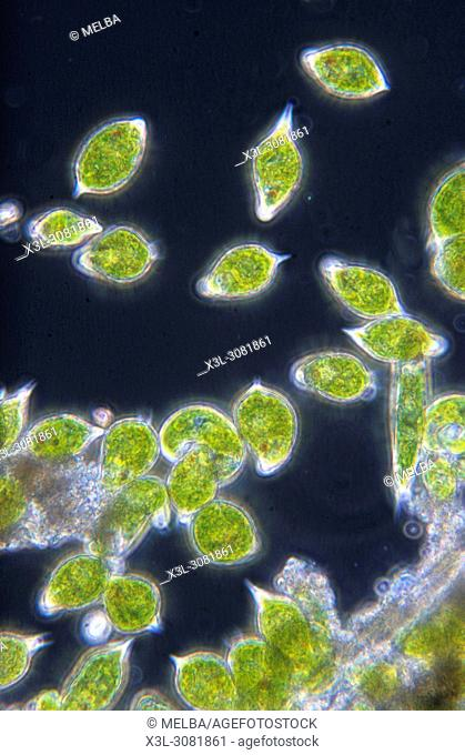 Euglena sp. Seaweed. Algae. Flagellate. Sarcomastigophora. Protozoan. Optic microscopy