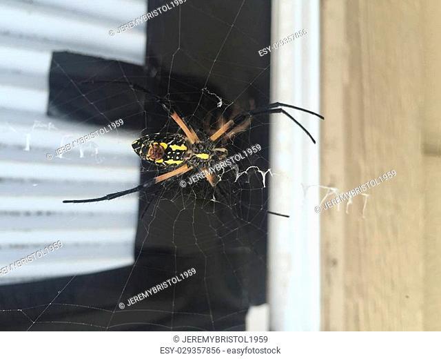 Argiope aurantia, aka: yellow garden spider, golden garden spider, writing spider, corn spider, McKinley spider