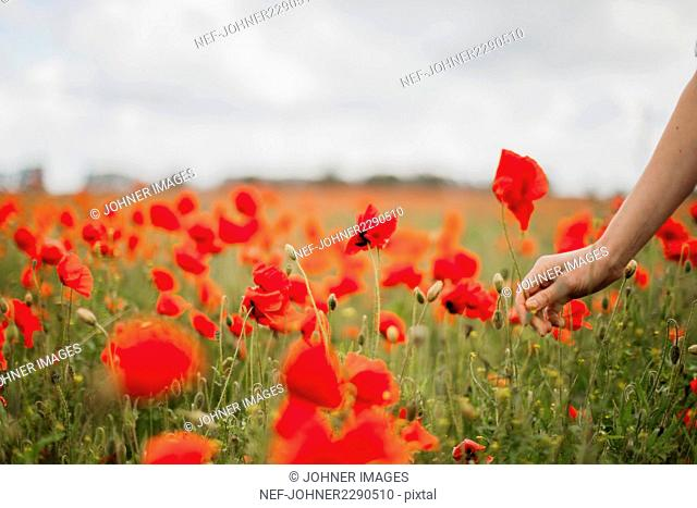 Woman picking poppy