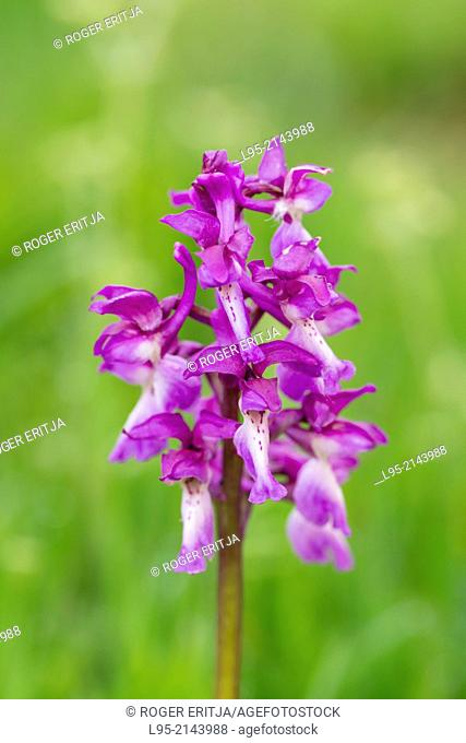 Green winged orchid, Montseny, spain