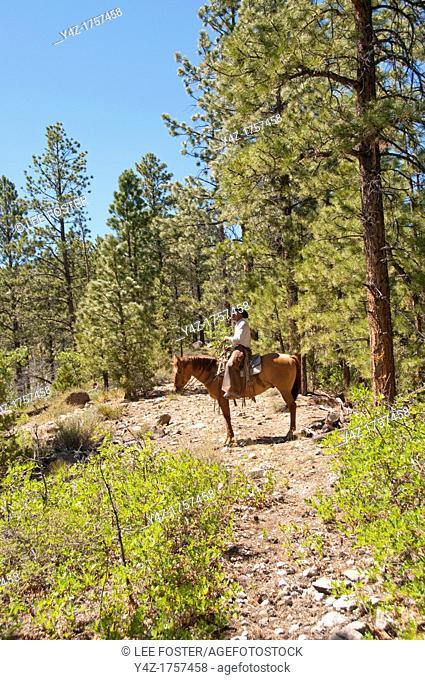 USA, Utah, horseback ride in Escalante with wranglers Jamie Barnson and Cash Barnson through ponderosa pine forest up steep trail to Aquarius Plateau   MR