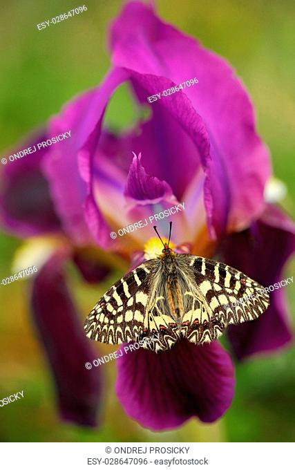 Nice Butterfly Southern Festoon, Zerynthia polyxena