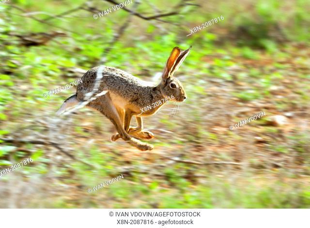 African savanna hare (Lepus microtis), Samburu National Reserve, Kenya