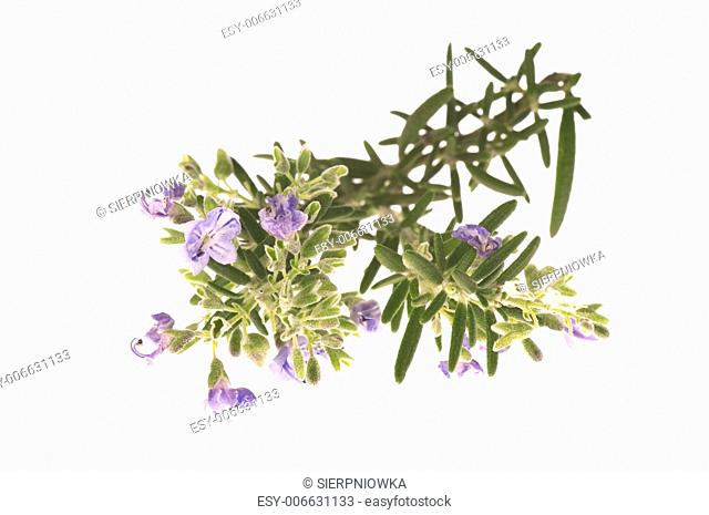 rosemary with flowers isolated on the white background