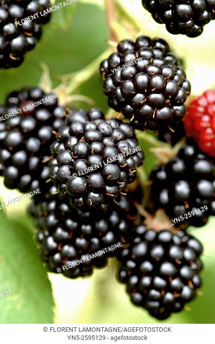 Blackberries without thorn on tree