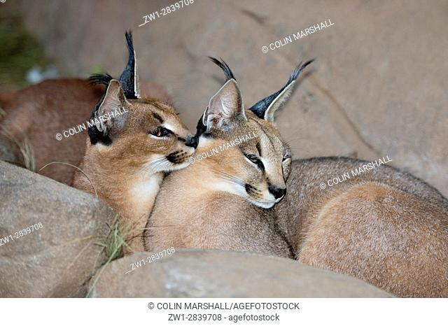 Pair of Caracals (Felis caracal) with tuft ears, Tzaneen Lion and Predator Park, near Tzaneen, Tzaneen district, Limpopo province, South Africa