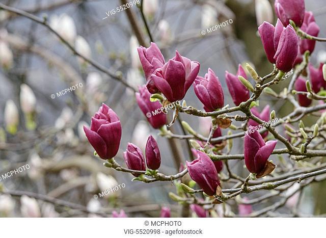 SCHWEIZ, SAN NAZARRO, 27.03.2014, Magnolie (Magnolia Ã¿ soulangeana 'Pickard's Garnet') - 27/03/2014