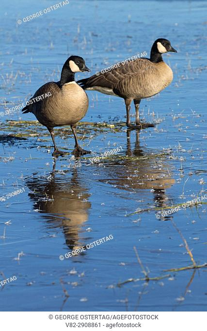Canada geese (Branta canadensis) at frozen McFadden Marsh, William Finley National Wildlife Refuge, Oregon