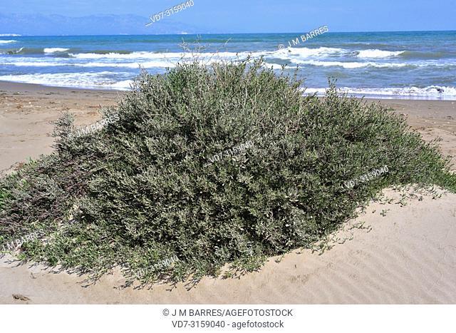 Salado (Limoniastrum monopetalum) is an halophyte shrub native to Mediterranean Basin coasts, southern Iberian Peninsula, Delta del Ebro, south Sardinia