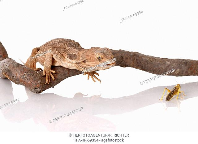 central bearded dragons at white background