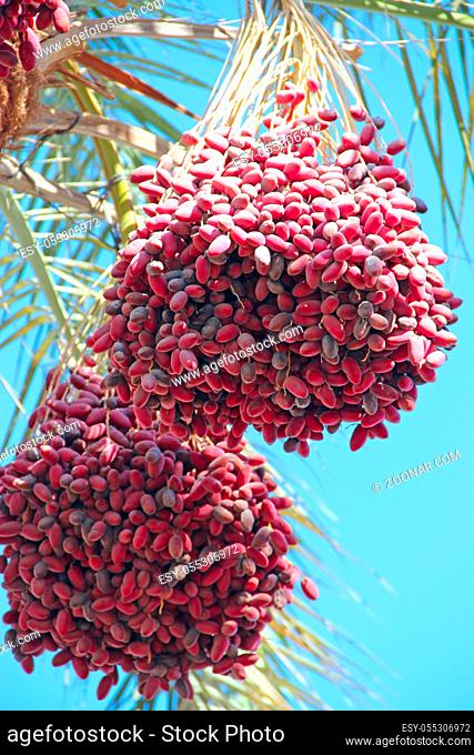 Ripe fruits of date tree hang on tree. Clusters of dates hang on tree. Tropical fruits. Close up clusters yellow ripe dates hanging on date palm