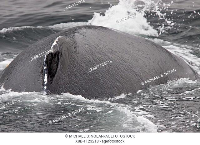 Adult humpback whale Megaptera novaeangliae surfacing along the west side of Chatham Strait in Southeast Alaska, USA  Pacific Ocean