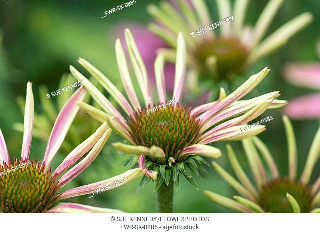 Echinacea, Coneflower, Purple coneflower, Echinacea purpurea, Flowers growing outdoor