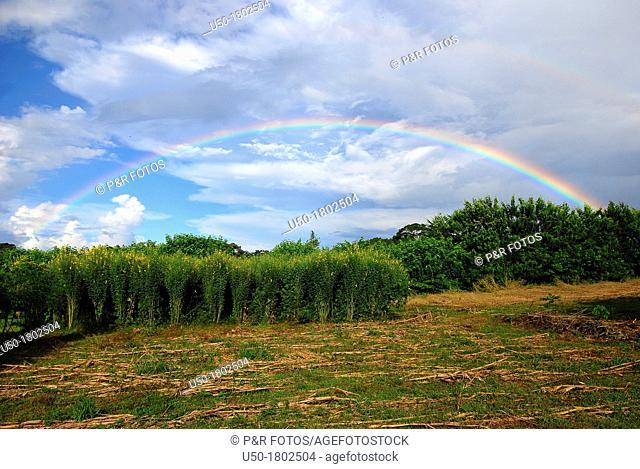 Rainbow and Crotalaria plantation  2012