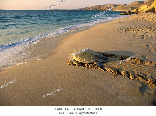 Asia,Oman,Ras el Hadd,Turtles Beach Reserve,eggs deposition time