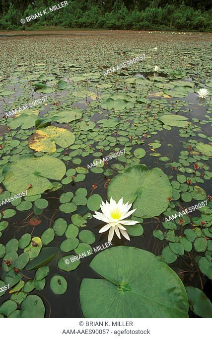Water Lily (Nymphaea odorata) & Water Shield (Brasenia schreberi), LA, blooming in pond, Kisatchie N.F