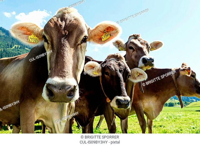 Herd of cows with ear tags on field