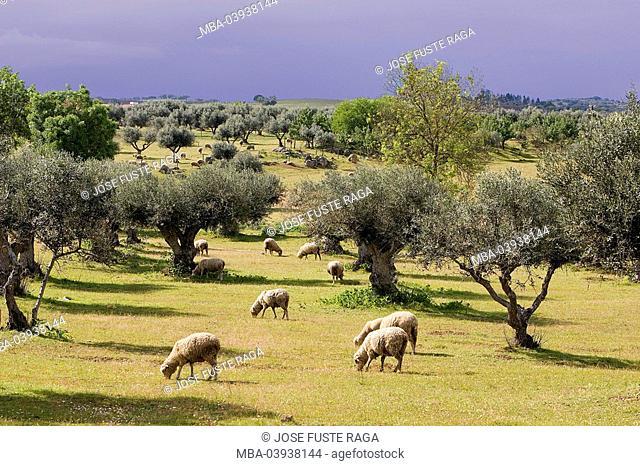 Portugal, Algarve, olive trees, sheep-herd, landscape, agriculture, animals, mammals, useful-animals, animal husbandry, cattle-raising, animal-attitude, sheep