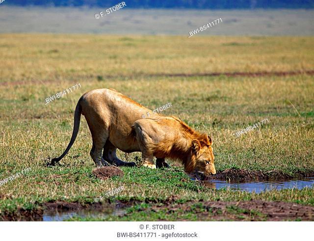 lion (Panthera leo), lioness drinks at waterhole, Kenya, Masai Mara National Park