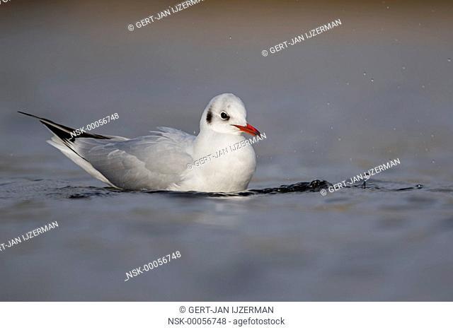 Black-headed Gull (Chroicocephalus ridibundus) in the water, the Netherlands, Ketelmeer