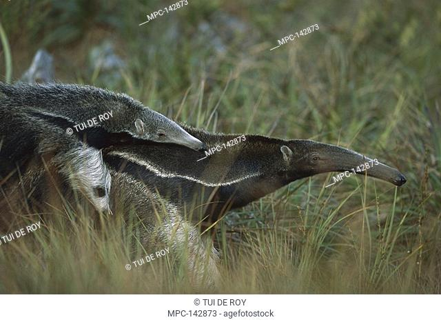 Giant Anteater Myrmecophaga tridactyla, mother carrying young on her back in dry Cerrado grassland habitat, Brazil