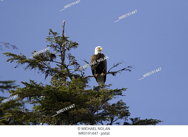 Adult bald eagle Haliaeetus leucocephalus in Sitka spruce tree in Pavlov Harbor on Chichagof Island, Southeast Alaska, USA Pacific Ocean
