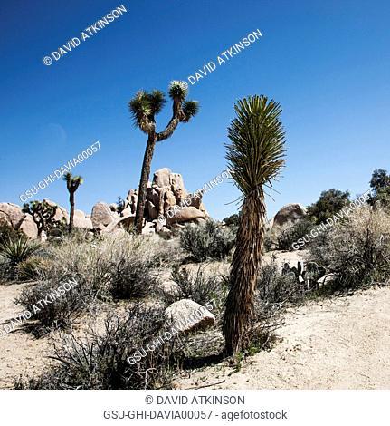 Rock formation and Joshua trees, Joshua Tree National Park, California, USA