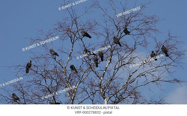 Spring in Sweden: Jackdaws (Corvus moendula) have arrived in their breeding area. They are sitting and quarelling in a bare tree