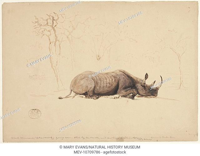 Black Rhinoceros (Blue Variety). Young cow, shot by Mr Hartley and Molony. September 1870. Sketch 112 from a collection of original sketches by Thomas Baines