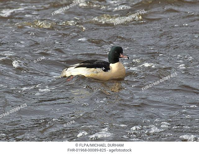 Goosander Mergus merganser adult male, swimming, River Nith, Dumfries and Galloway, Scotland, november