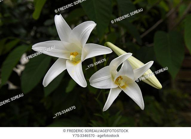 White hibiscus, Ishigaki island, Okinawa Prefecture, Japan, Asia