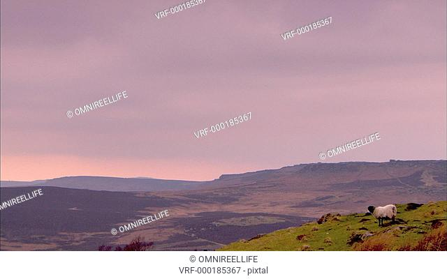 Swaledale Sheep grazing in foreground with countryside of the Peak District behind at sunset