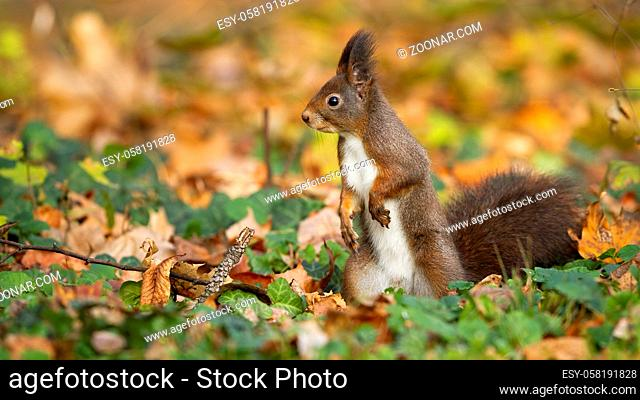 Curious red squirrel, sciurus vulgaris, keeping an eye on the autumn surroundings of the park. Adorable rodent looking for something to eat among the autumn...