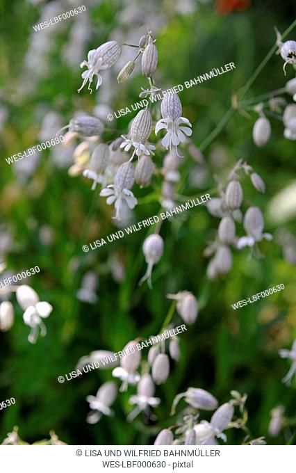 Czechia, Bladder Campion (Silene vulgaris), close up