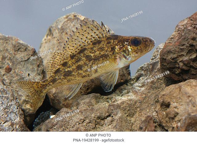 blacktail Gymnocephalus cernuus - Overijsselse Vecht, Junne, Salland, Overijssel, The Netherlands, Holland, Europe