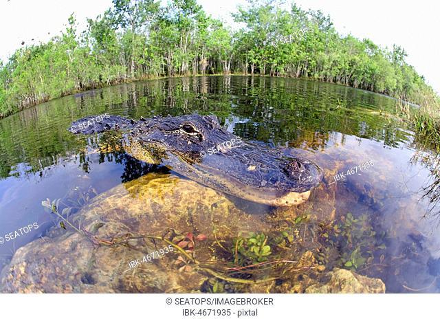 American alligator (Alligator mississippiensis), in the water, Everglades, Florida, USA