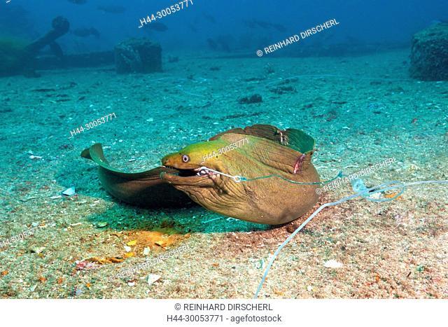 Panamic Green Moray Eel on hook, Gymnothorax castaneus, La Paz, Baja California Sur, Mexico