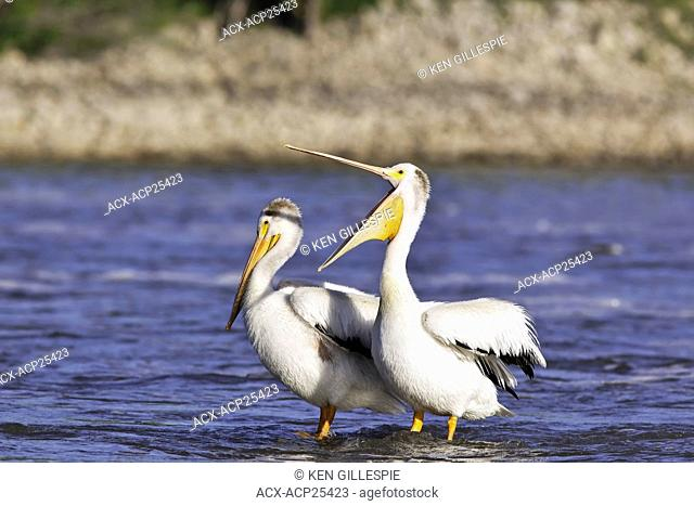 American White Pelicans sharing a submerged rock on the Red River. Lockport, Manitoba, Canada