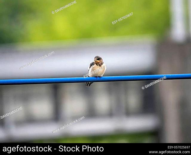 A young barn swallow, Hirundo rustica gutturalis, waits on a power line for an adult to bring it food from the nearby river