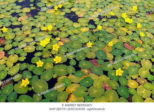 Yellow Water-lily, Brandy-Bottle (Núphar lútea) . Siberia, Russian Federation