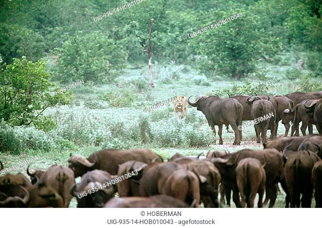 Buffalo Herd and Lioness, South Africa
