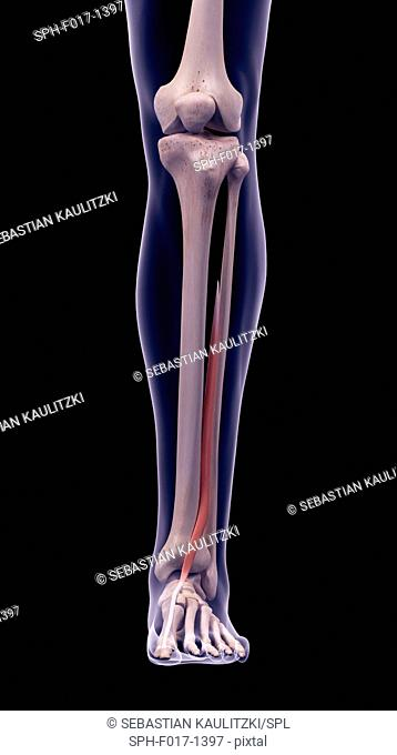 Illustration of the extensor hallucis longus muscle
