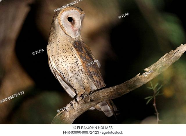 Barn Owl Tyto alba affinis adult, perched on branch, spotlit at night, Kgalagadi Transfrontier Park, Kalahari Gemsbok N P , Northern Cape, South Africa, October
