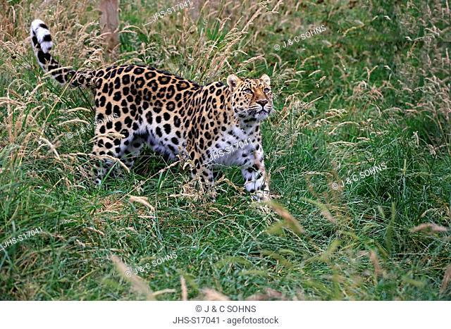 Amur leopard, (Panthera pardus orientalis), alert, Asia