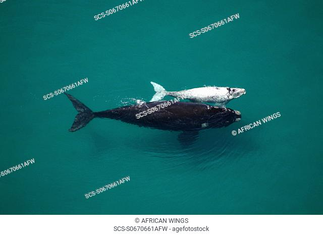 Southern Right Whale Eubalaena australis Mother and albino calf The Cape, South Africa