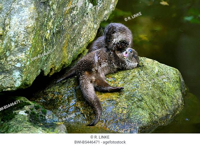 European river otter, European Otter, Eurasian Otter (Lutra lutra), two young otters playing on a rock watersides, Germany, Bavaria